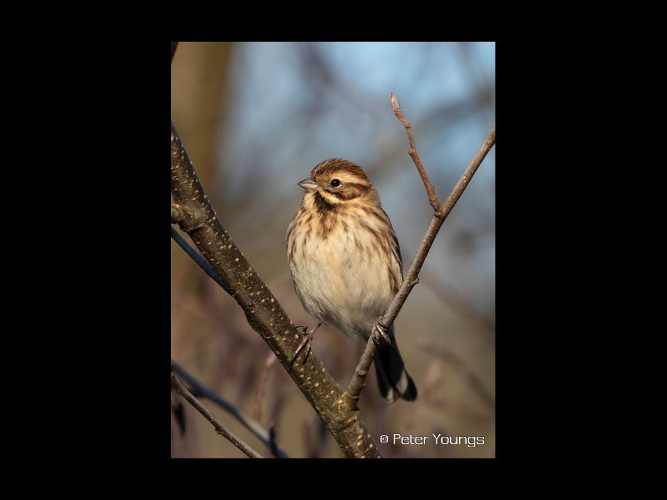 B Reed Bunting On Twigs Image Photo Print Available To Buy On Line